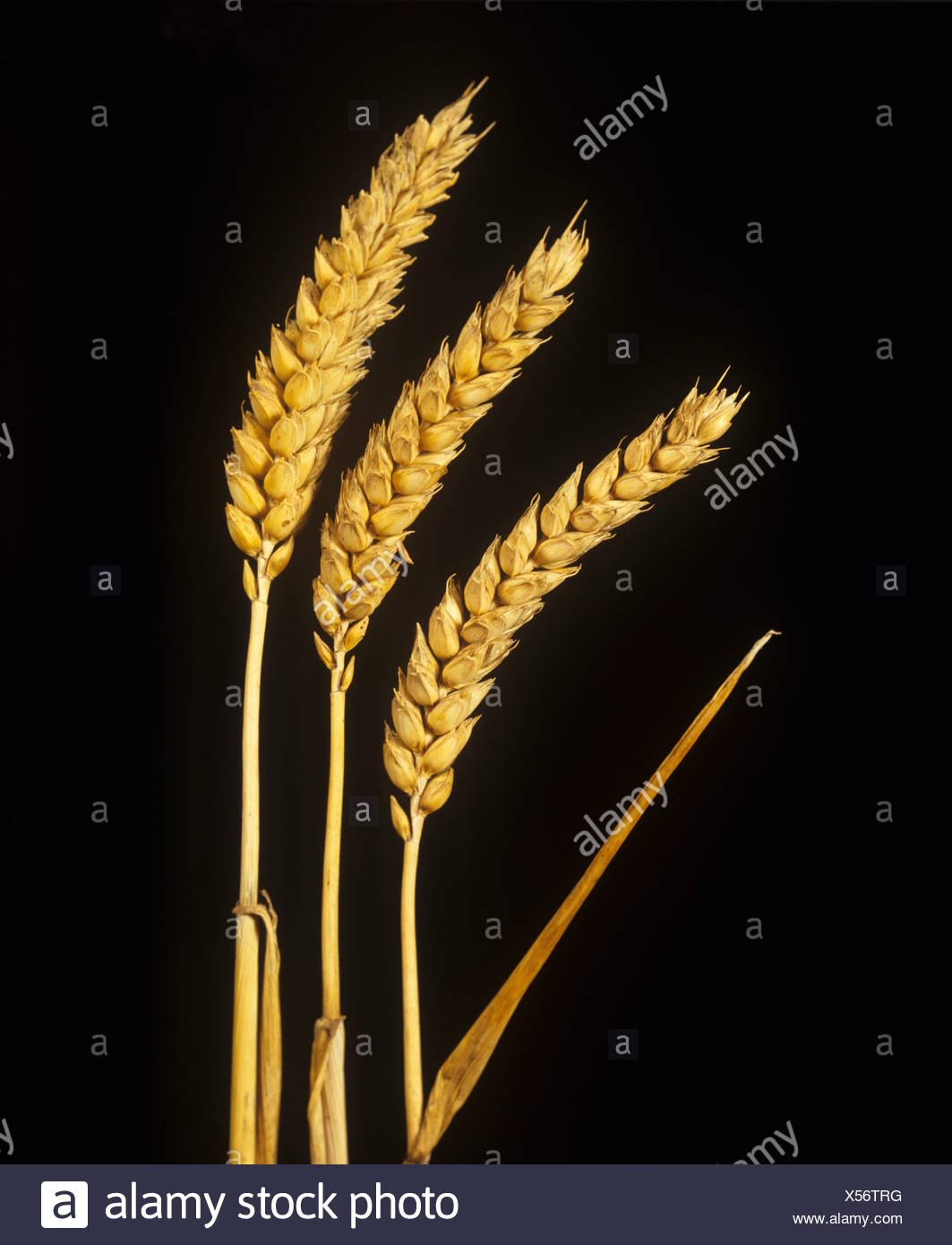 Spighe mature di golden frumento invernale contro uno sfondo nero Immagini Stock