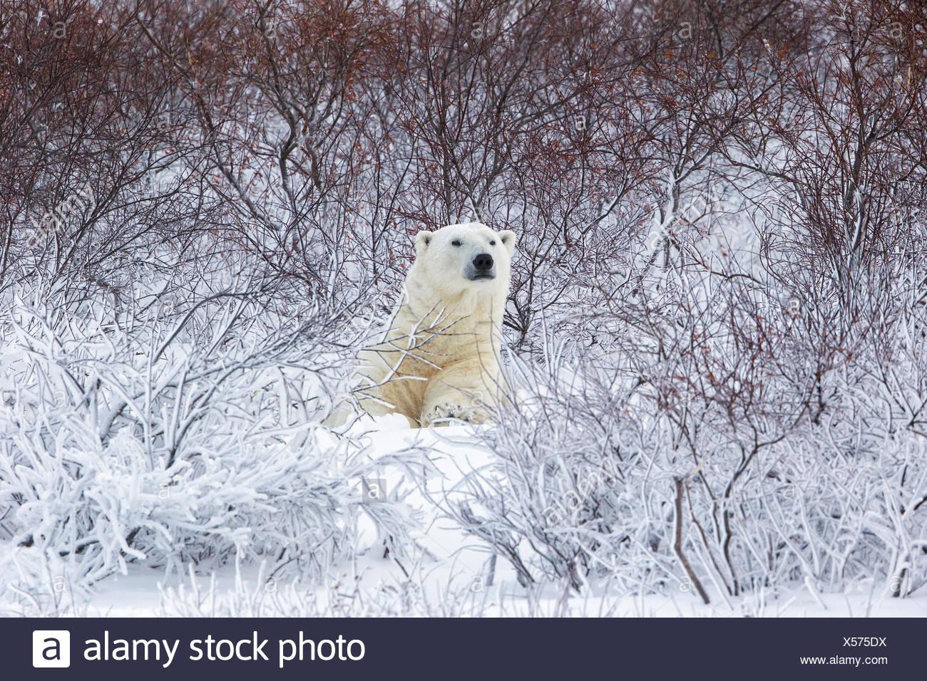 Orso polare (Ursus maritimus), in appoggio tra salici (Salix sp.), Cape Churchill, Wapusk National Park, Manitoba. Foto Stock