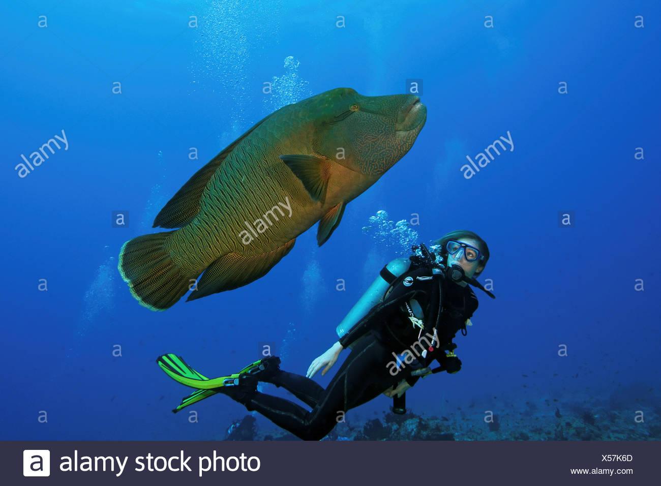 Un subacqueo cercando un pesce napoleone noto anche come for Un pesce allevato in acque stagnanti