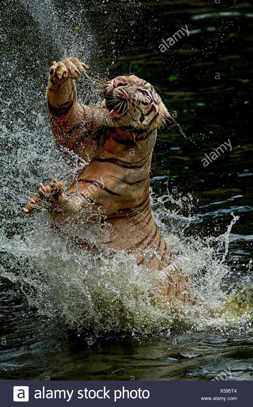 Indonesia Jakarta Special Capital Region, Ragunan, Tiger jumping da acqua per la cattura di cibo Foto Stock