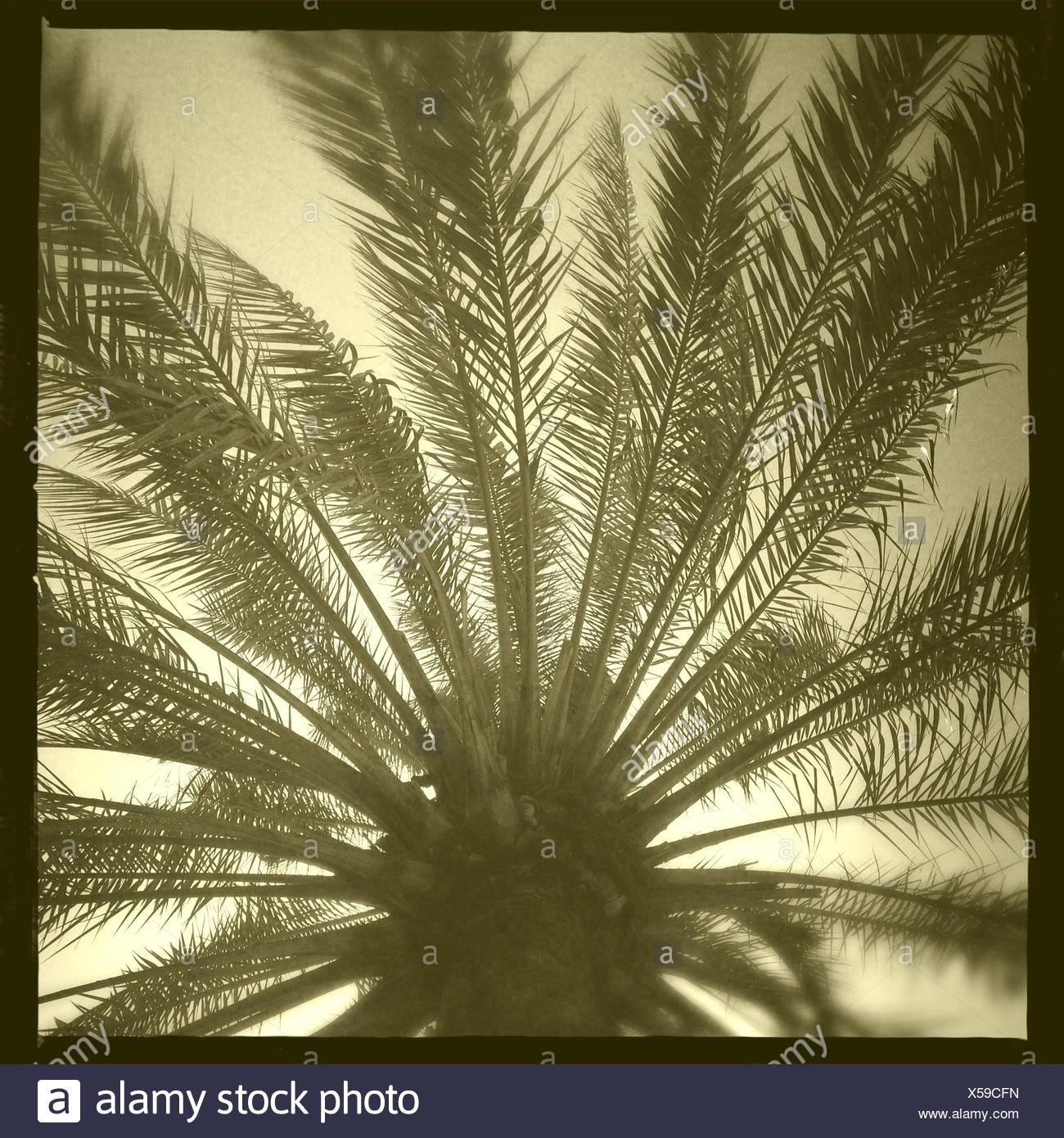 Oman, Moscato, Palm tree dal di sotto Immagini Stock