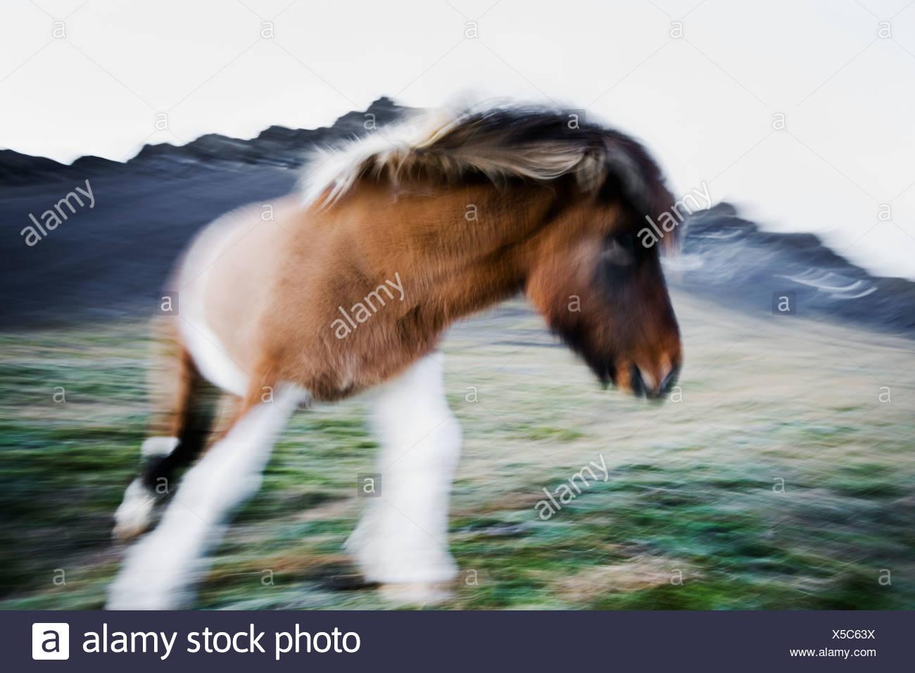Un cavallo islandese in movimento, Islanda. Immagini Stock