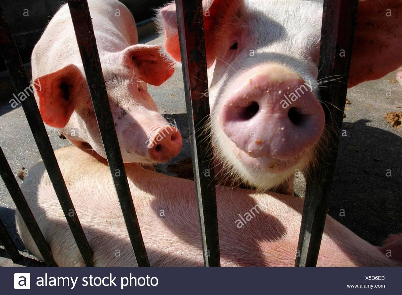 Naso animali suini Naso Naso Animali Maiale Maiali Carnevale Naso