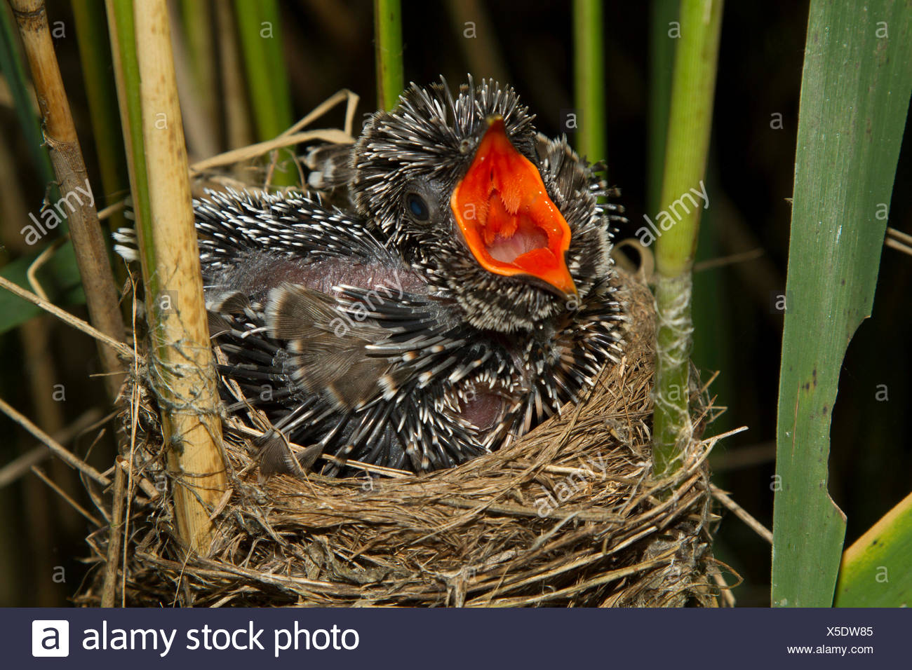 Eurasian cuculo (Cuculus canorus), sette giorni cucù in un reed trillo nido, minacciando, in Germania, in Baviera, Alta Baviera, Baviera superiore Immagini Stock