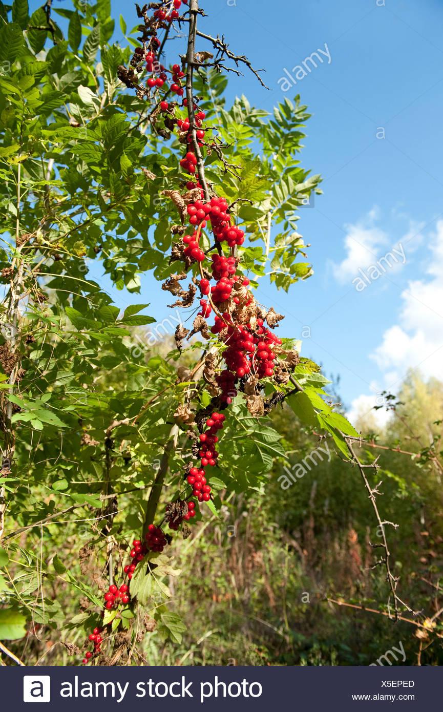 Pianta Ornamentale Con Bacche Rosse bacche rosse del nero bryony pianta rampicante tamus