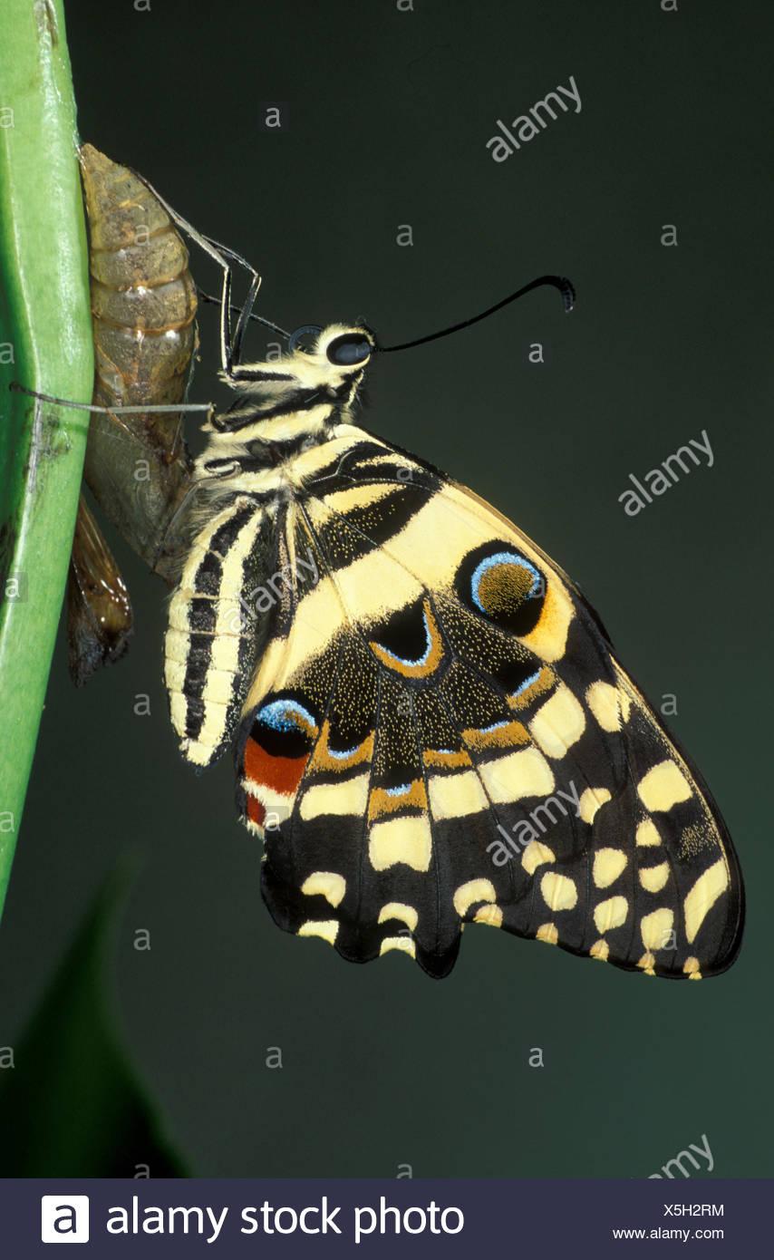 Lime a coda di rondine, butterfly papilio demoleus, Asia e Australia, appena nati dalle pupe, calce comune butterfly, limone butterfly, piccola burro di agrumi Immagini Stock