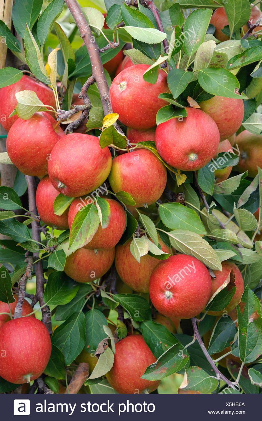 Melo (Malus domestica 'Braeburn', Malus domestica Braeburn), cultivar Braeburn Immagini Stock