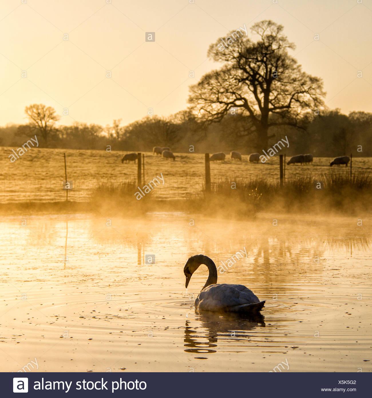 Lago e del cigno sul primo piano e le pecore sul prato in background Immagini Stock