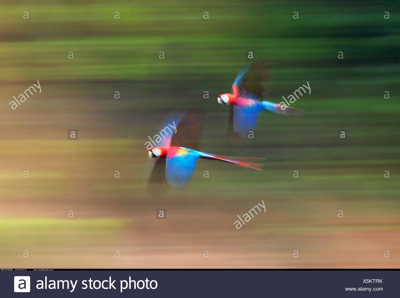 Scarlet Macaws in volo sul fiume Tambopata Peru Immagini Stock