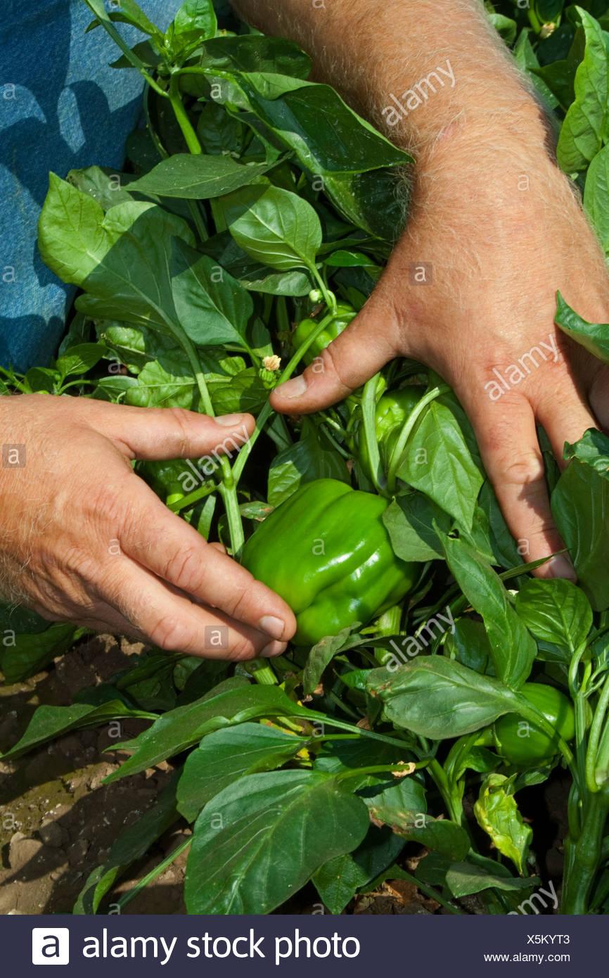 Un agricoltore tira il fogliame torna a mostrare il suo maturo di peperoni verdi sulla boccola, pronto per il raccolto / vicino a Dixon, CALIFORNIA, STATI UNITI D'AMERICA Immagini Stock