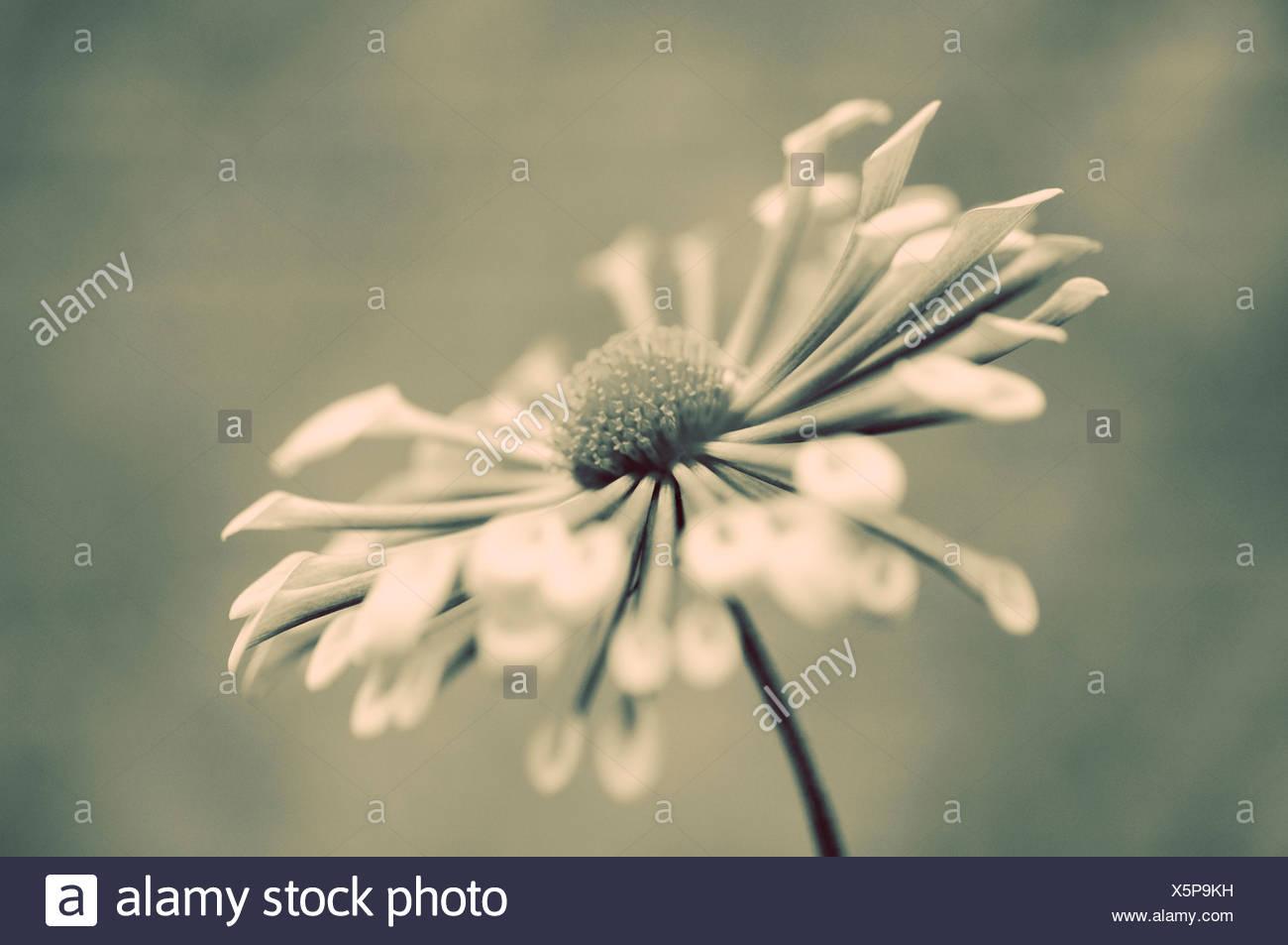 Crisantemo 'Matchsticks', unico fiore in bianco e nero. Immagini Stock