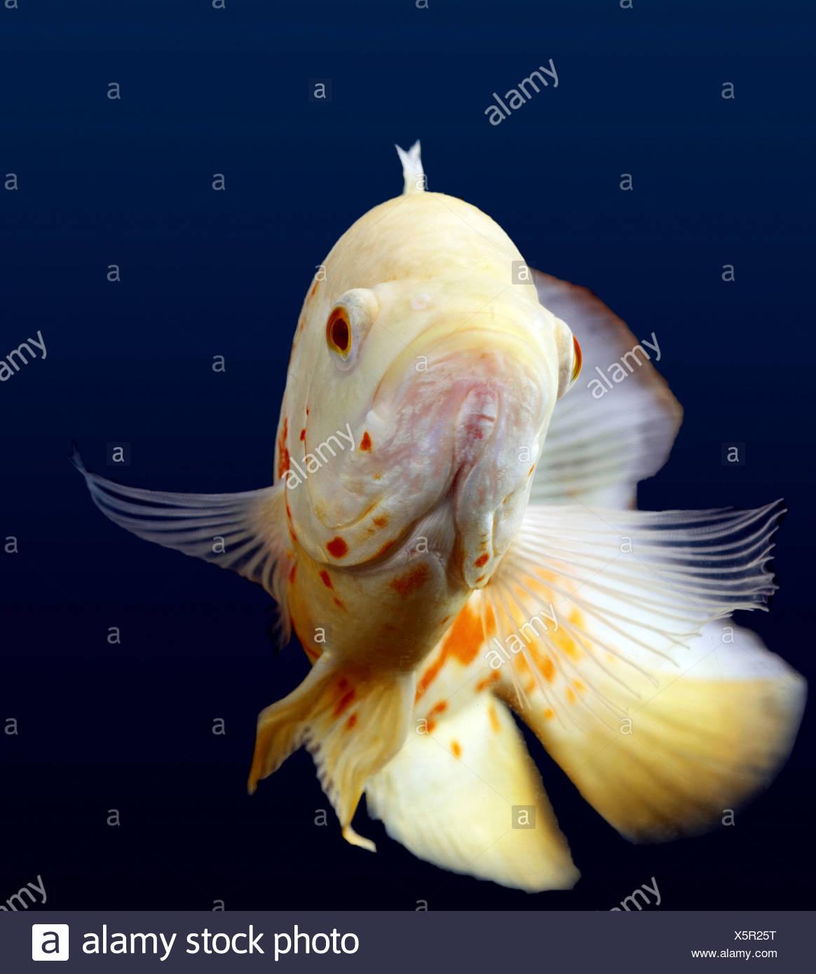 Bianco pesce Oscar Immagini Stock