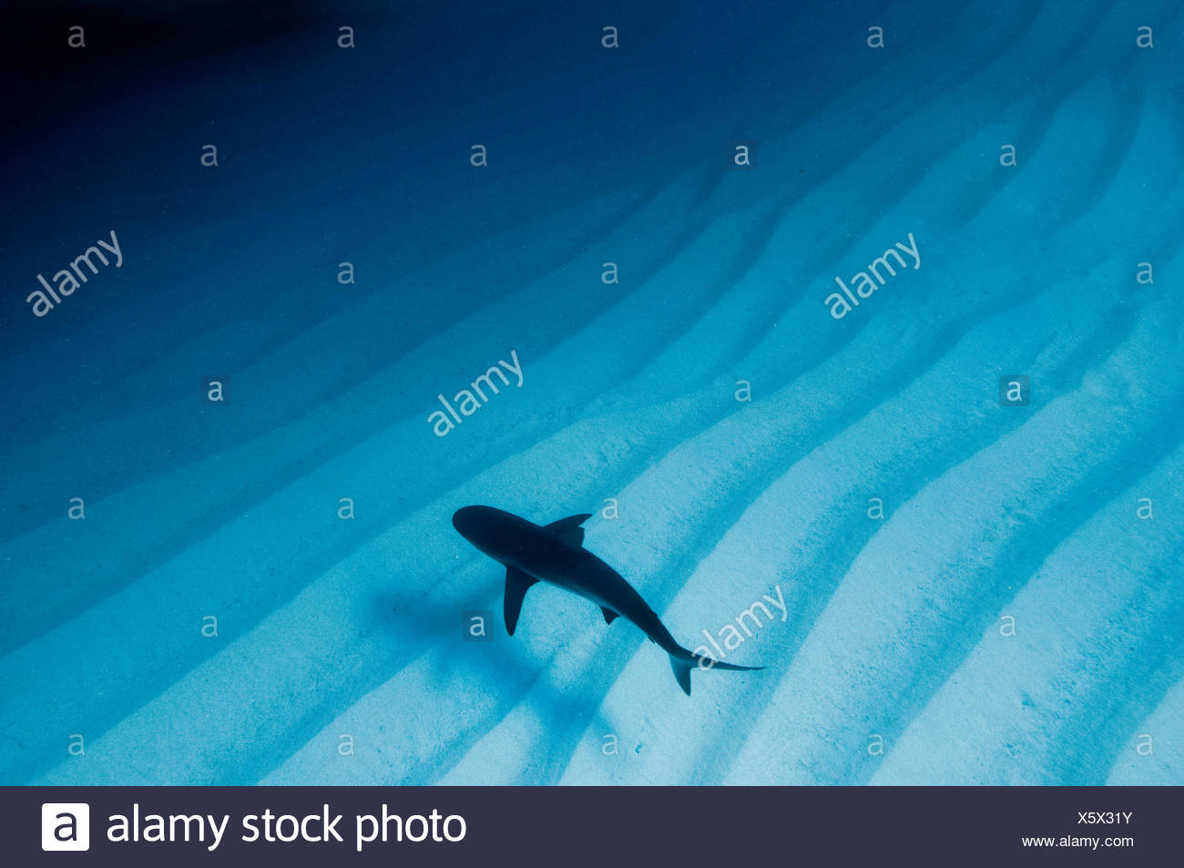 Una luce disponibile foto di una barriera corallina caraibica shark (Carcharhinus perezi) su sabbia increspature. Walkers Cay, Bahamas. Tropicali West Oceano Atlantico. Immagini Stock