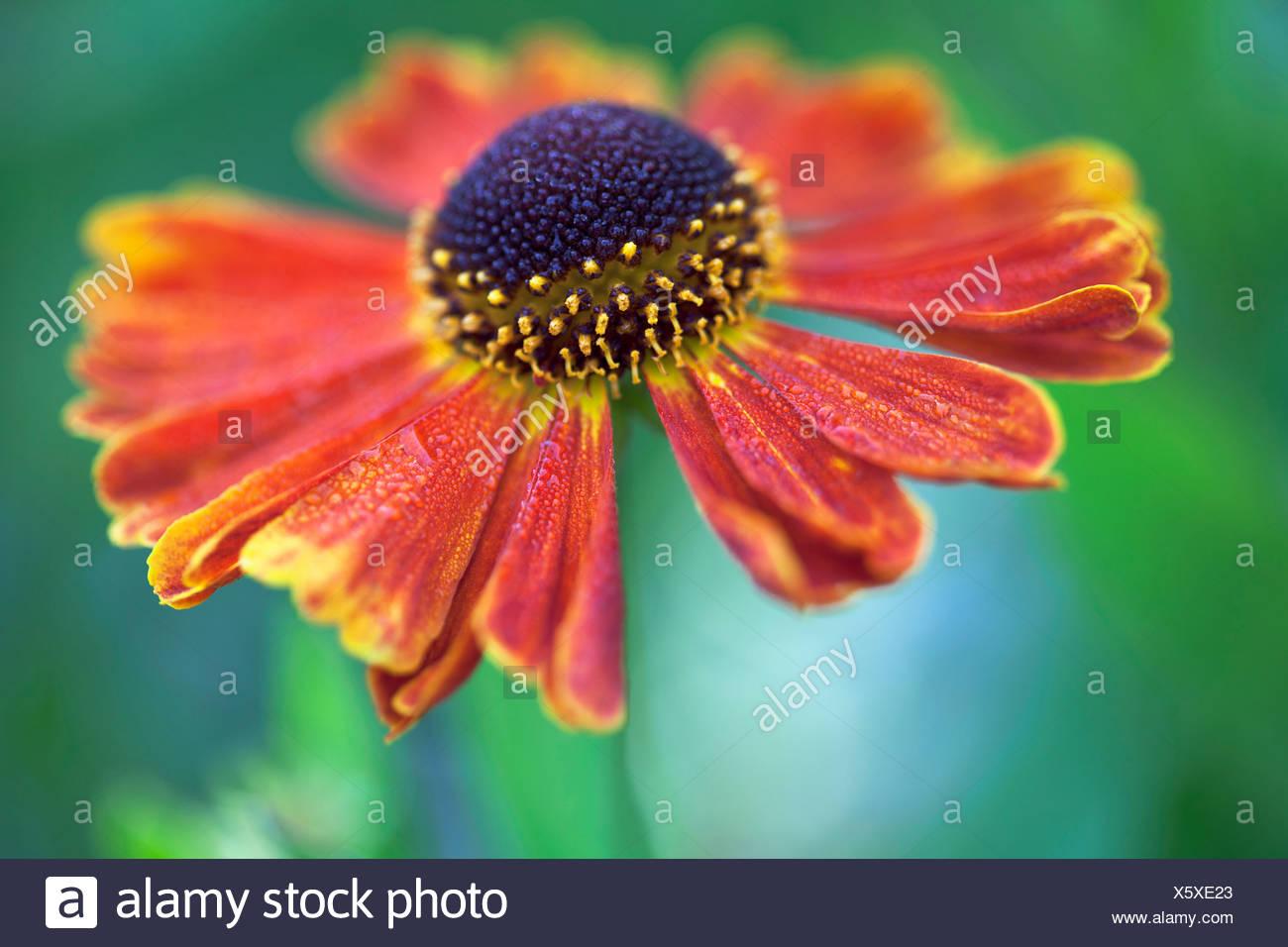 Helen's flower, Sneezeweed, Helenium 'Moerheim bellezza', arancione. Immagini Stock