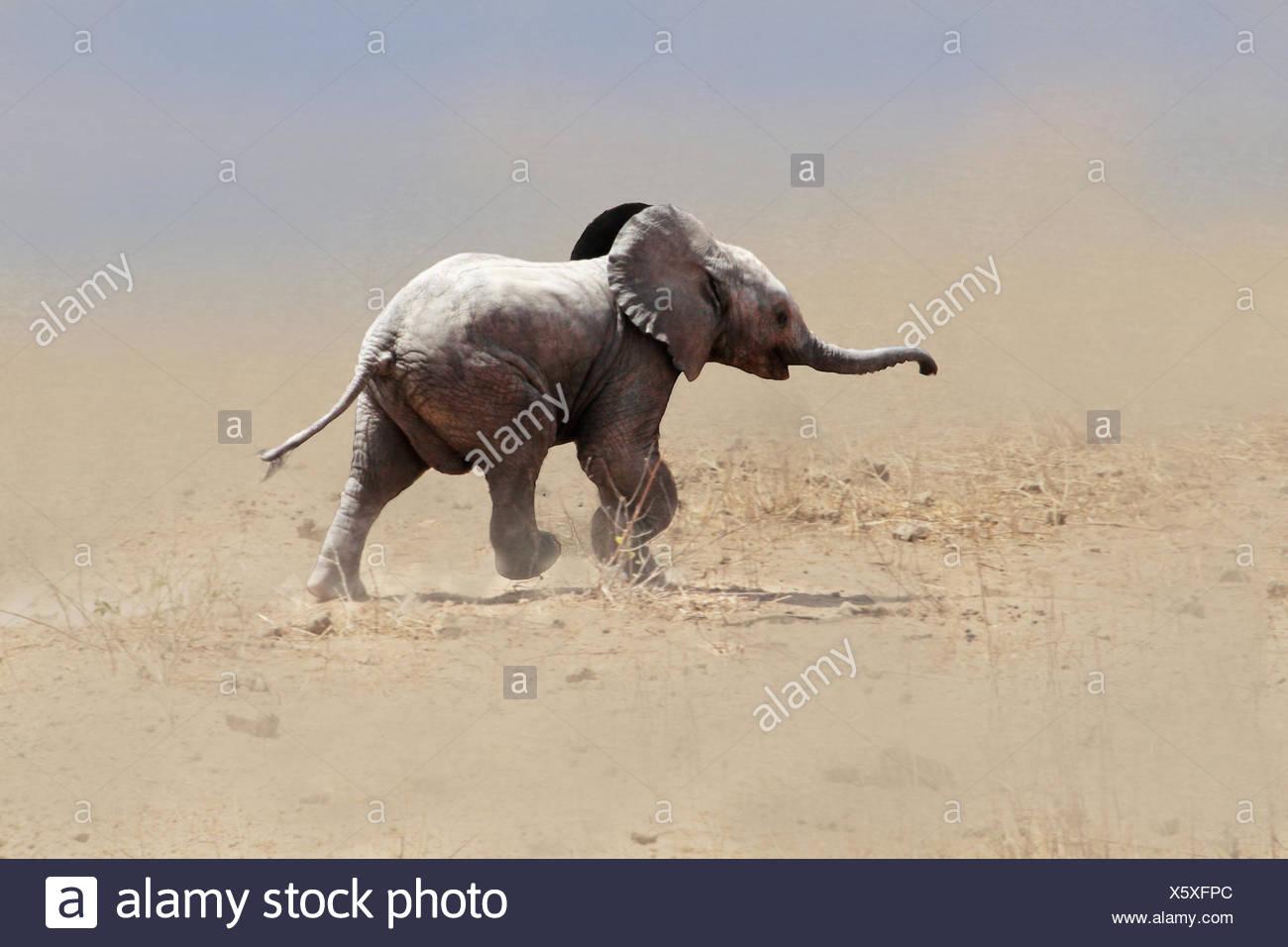 Elefante africano (Loxodonta africana), baby elephant in esecuzione attraverso una tempesta di sabbia, Kenya, Amboseli National Park Immagini Stock