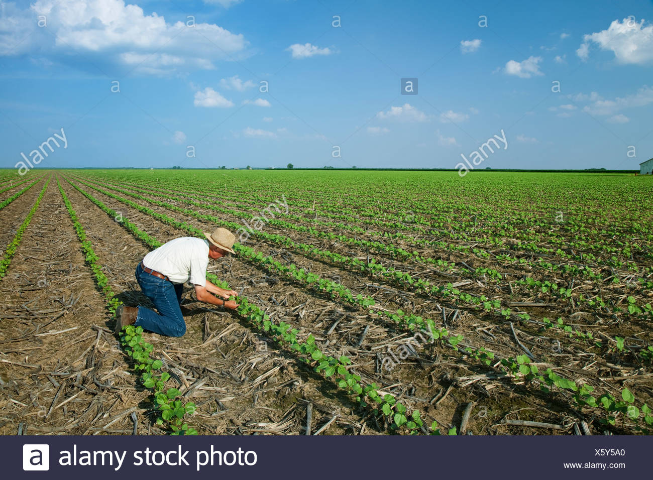 Un consulente di raccolto ispeziona un early growth no-till il cotone raccolto a 3-4 vero stadio fogliare ad inizio stagione gli insetti / Arkansas. Immagini Stock