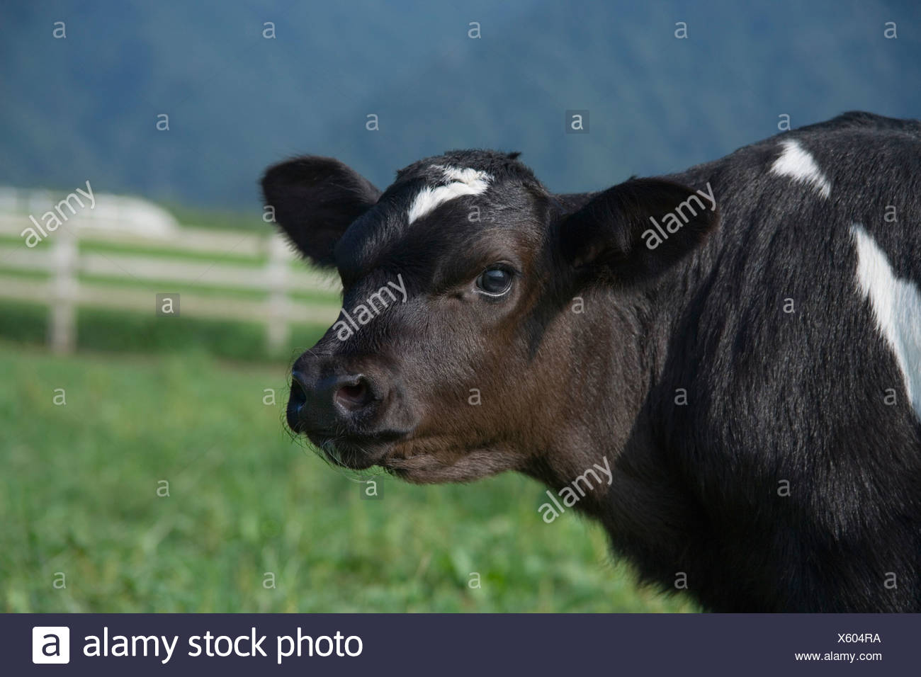 Mucca in piedi in fattoria Immagini Stock