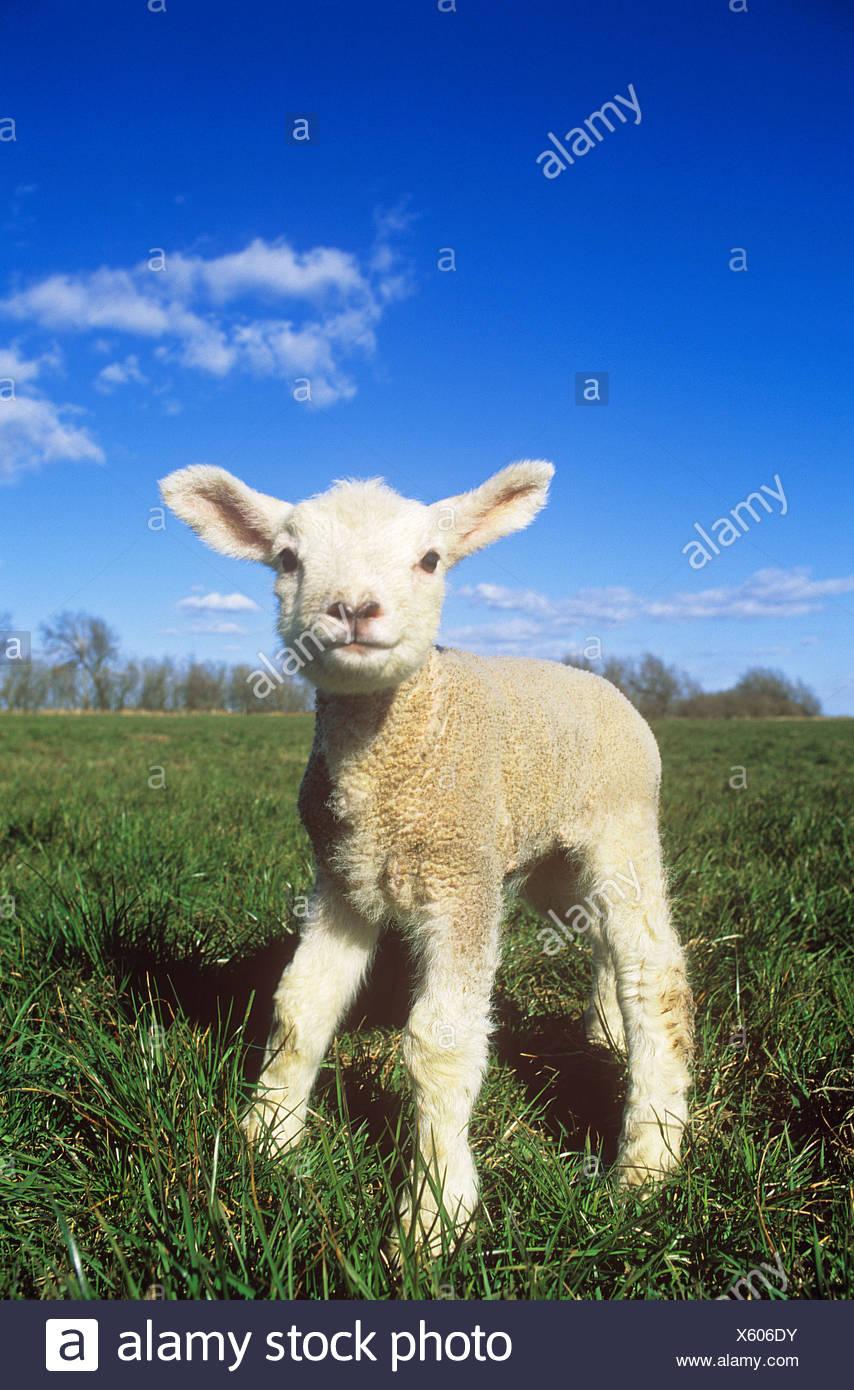 Ovini domestici. Unico agnello in piedi su un prato Immagini Stock