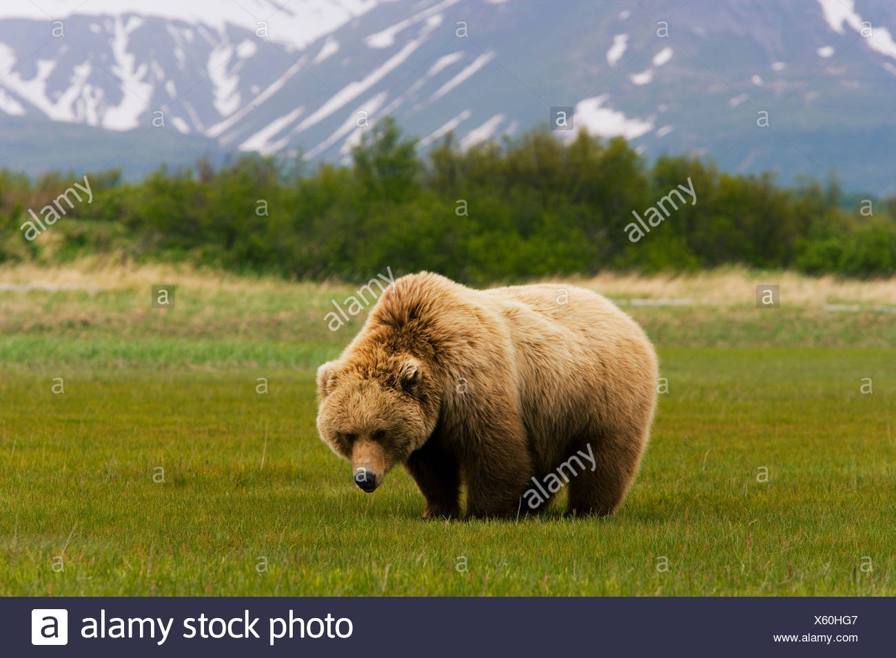 Orso bruno, Katmai National Park, Alaska Immagini Stock