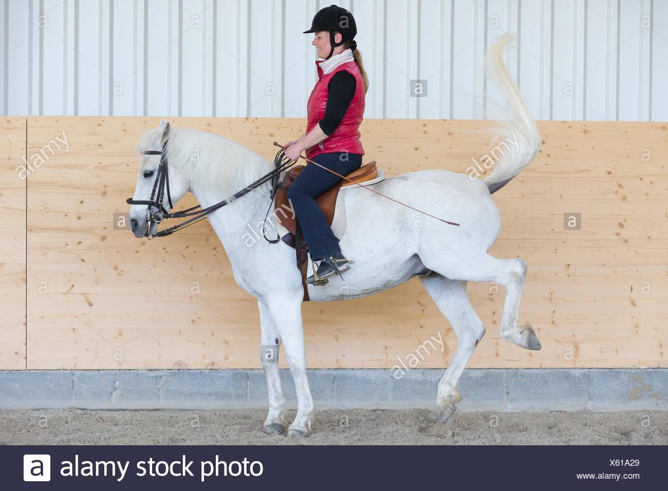 Il tedesco cavalcare pony pony bianco che mostra resistenza contro il suo pilota Immagini Stock