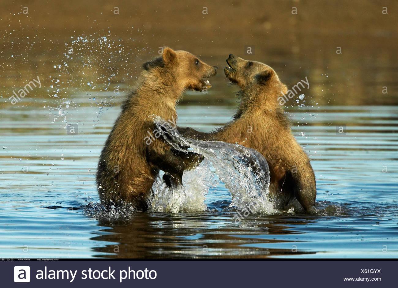Orso bruno cubs giocare in acqua Katmai National Park in Alaska Immagini Stock