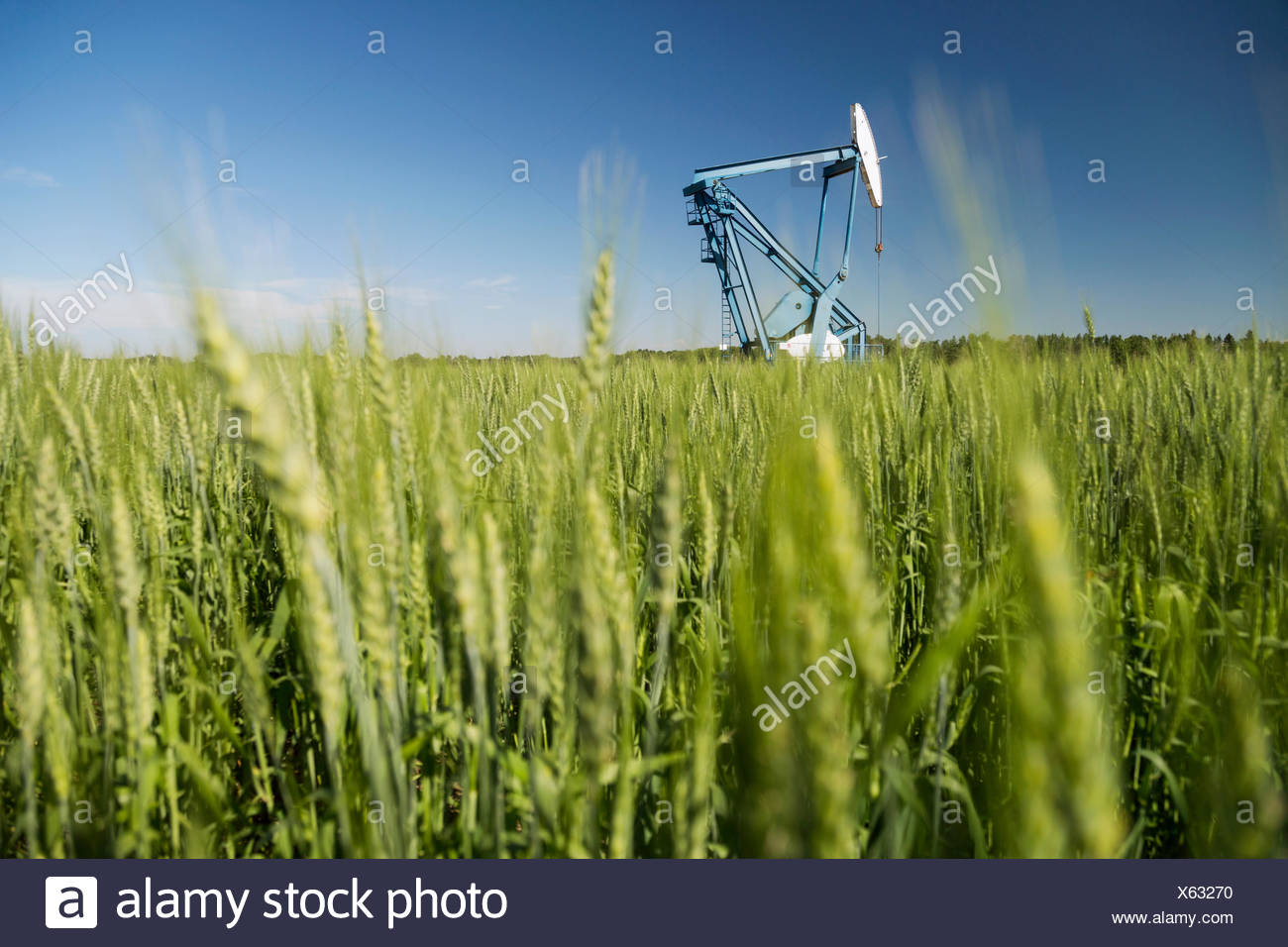 Olio bene in sfondo verde del campo di grano Immagini Stock