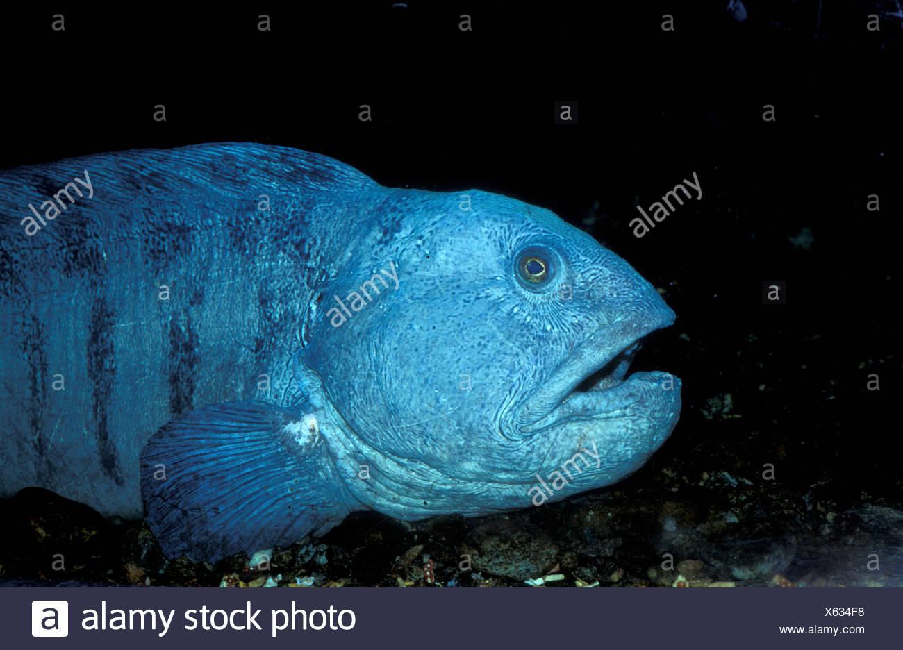 Lupo Di Mare Wolffish Pesce Gatto Pesce Gatto Anarhichas Lupus