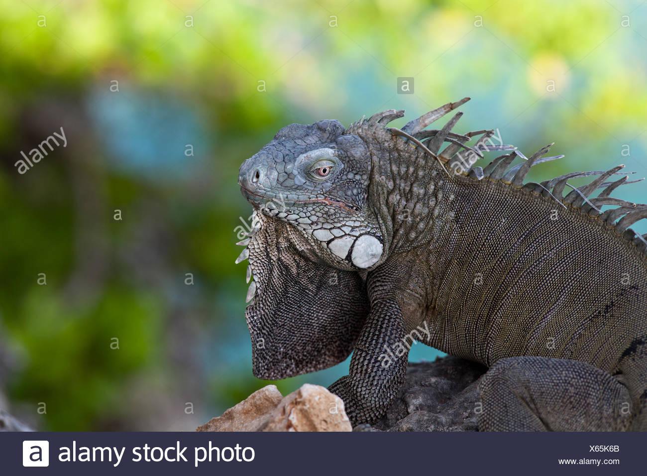 Iguana verde Foto Stock