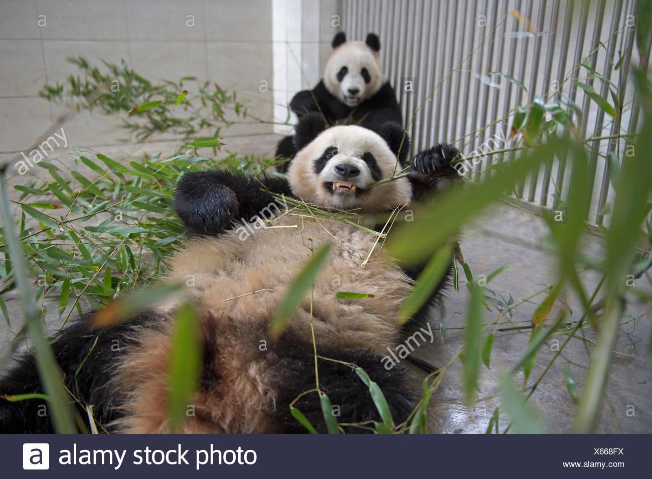 Panda Giganti mangiano il bambù al Geng Da Panda Gigante di base che è parte della Wolong Panda Gigante Centro di ricerca. Immagini Stock