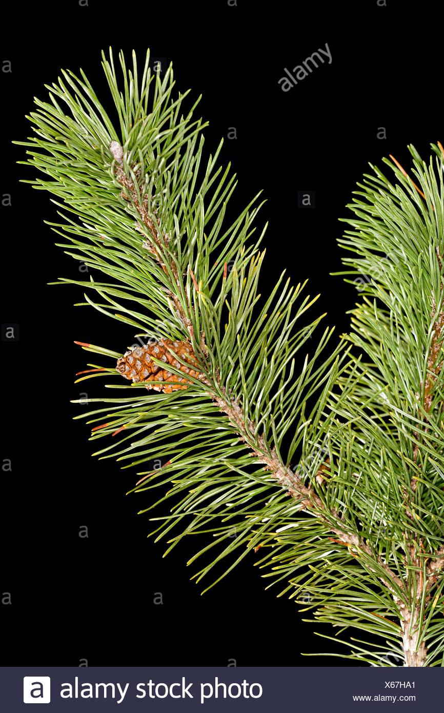 Filiale del pino Immagini Stock