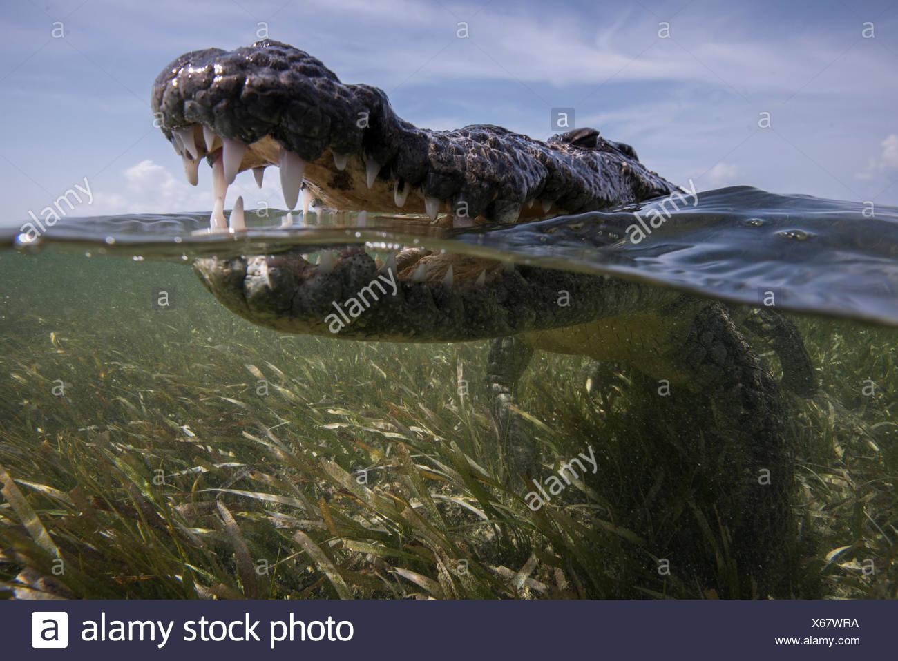 Close up di aprire bocca coccodrillo americano (Crocodylus acutus) in corrispondenza della superficie del mare, Chinchorro banche, Messico Immagini Stock