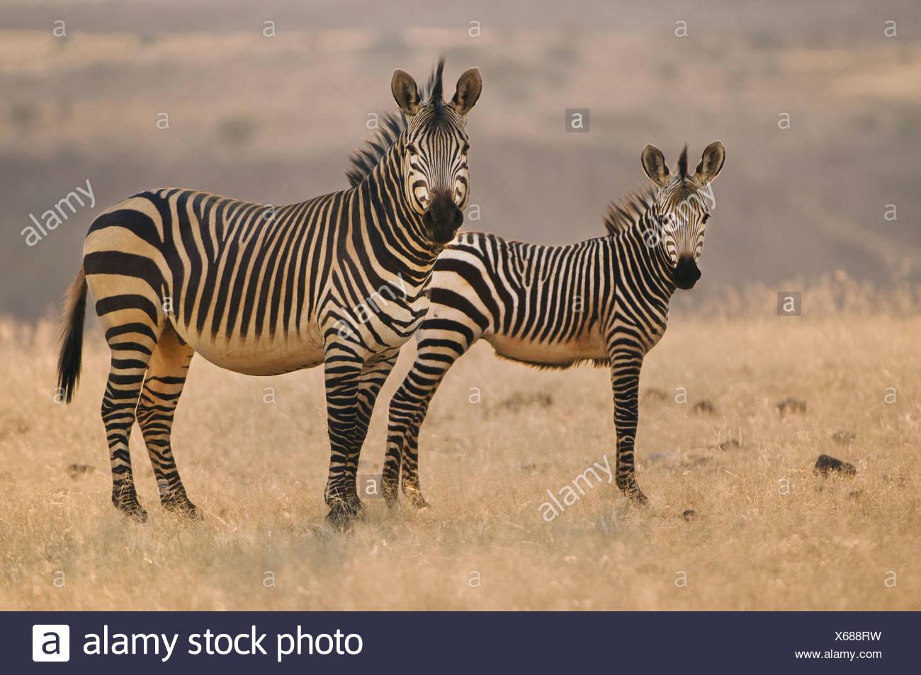 Torra Conservancy Damaraland Namibia due zebre di montagna Equus zebra sulle pianure della Namibia Immagini Stock