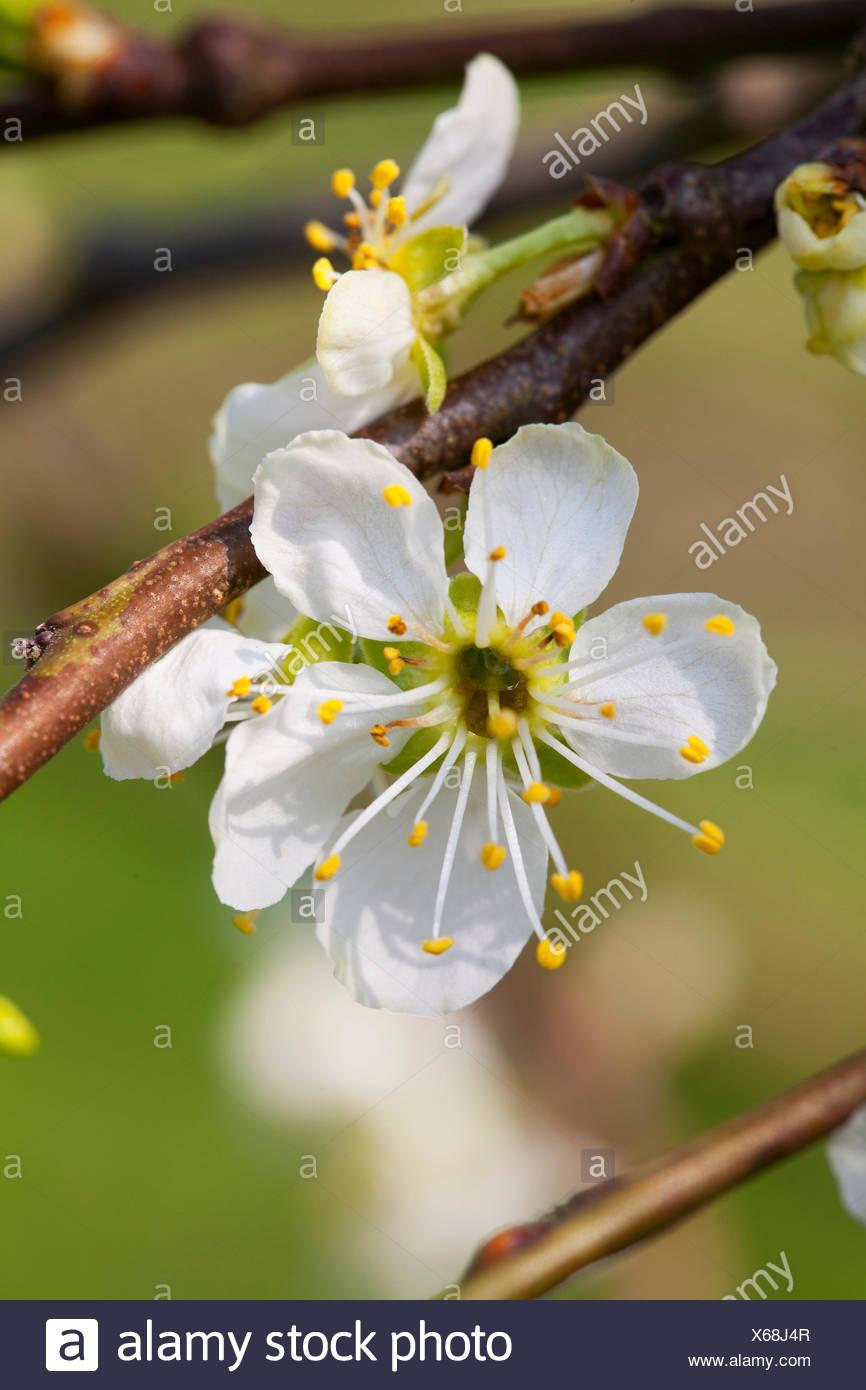 Prunus domestica 'Oullins Gage' Foto Stock