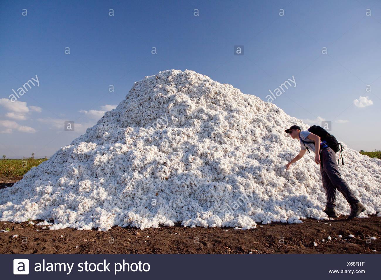 Il cotone, il raccolto, il raccolto, Africa, agricoltura, Etiopia, Immagini Stock