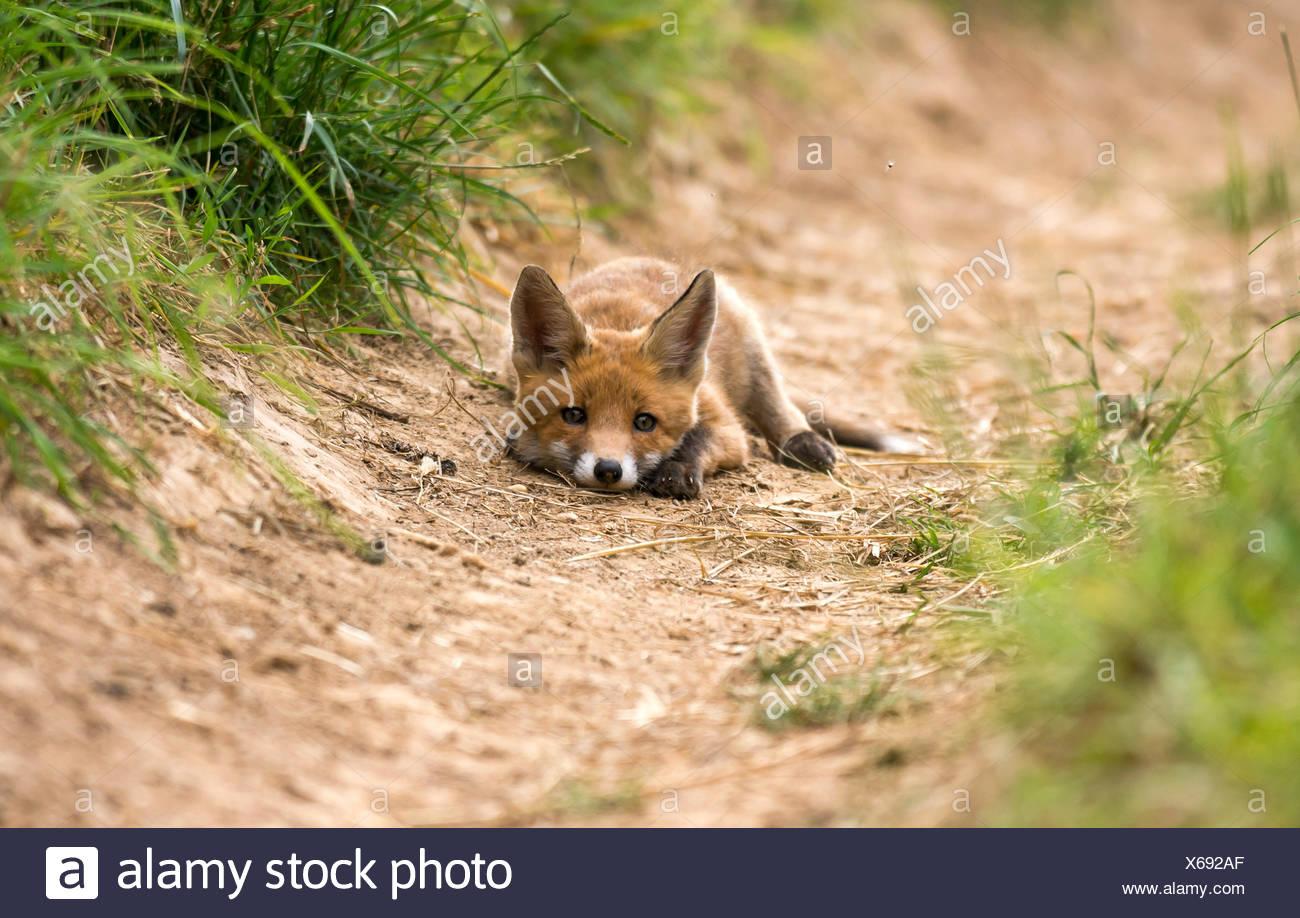 Red Fox (Vulpes vulpes vulpes), sdraiato, giovane animale, cucciolo, Baden-Württemberg, Germania Foto Stock