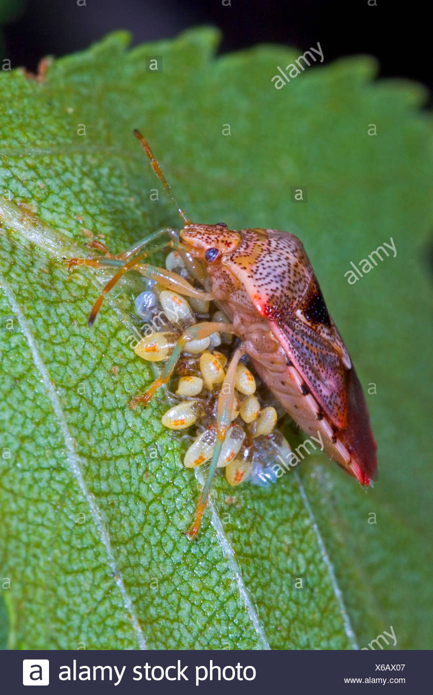 Bug di genitore, mothering bug (Elasmucha grisea), custodisce le sue uova, Germania Foto Stock