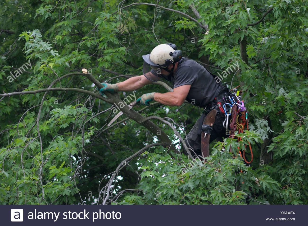 Tree cura, utilizzando la corda di arrampicata tecnica, arborist taglio un ramo della corona della struttura ad albero Immagini Stock