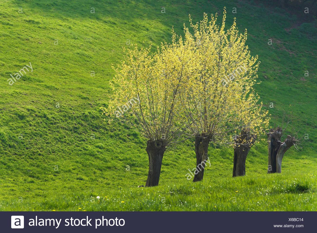 ddba80295287 Fila di alberi di salice in primavera