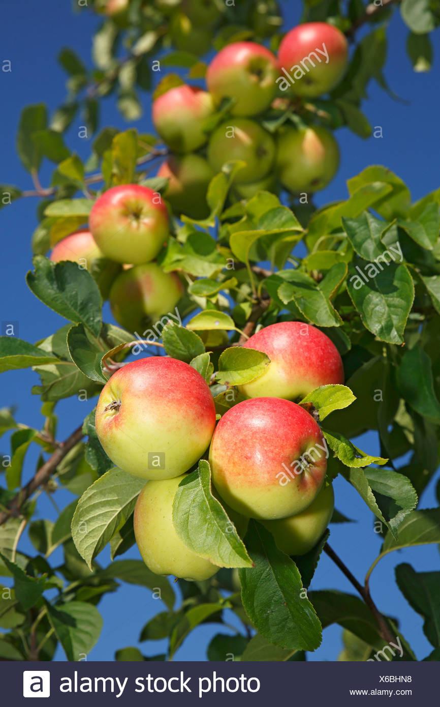 """Le mele su un albero di mele, 'Reglindis """" (Malus domestica 'Reglindis """") varietà di mele, Germania Immagini Stock"""