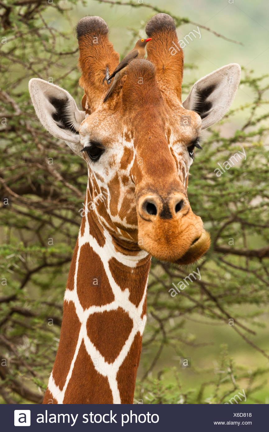 Giraffa reticolata, il Masai Mara Game Reserve, Kenya Immagini Stock