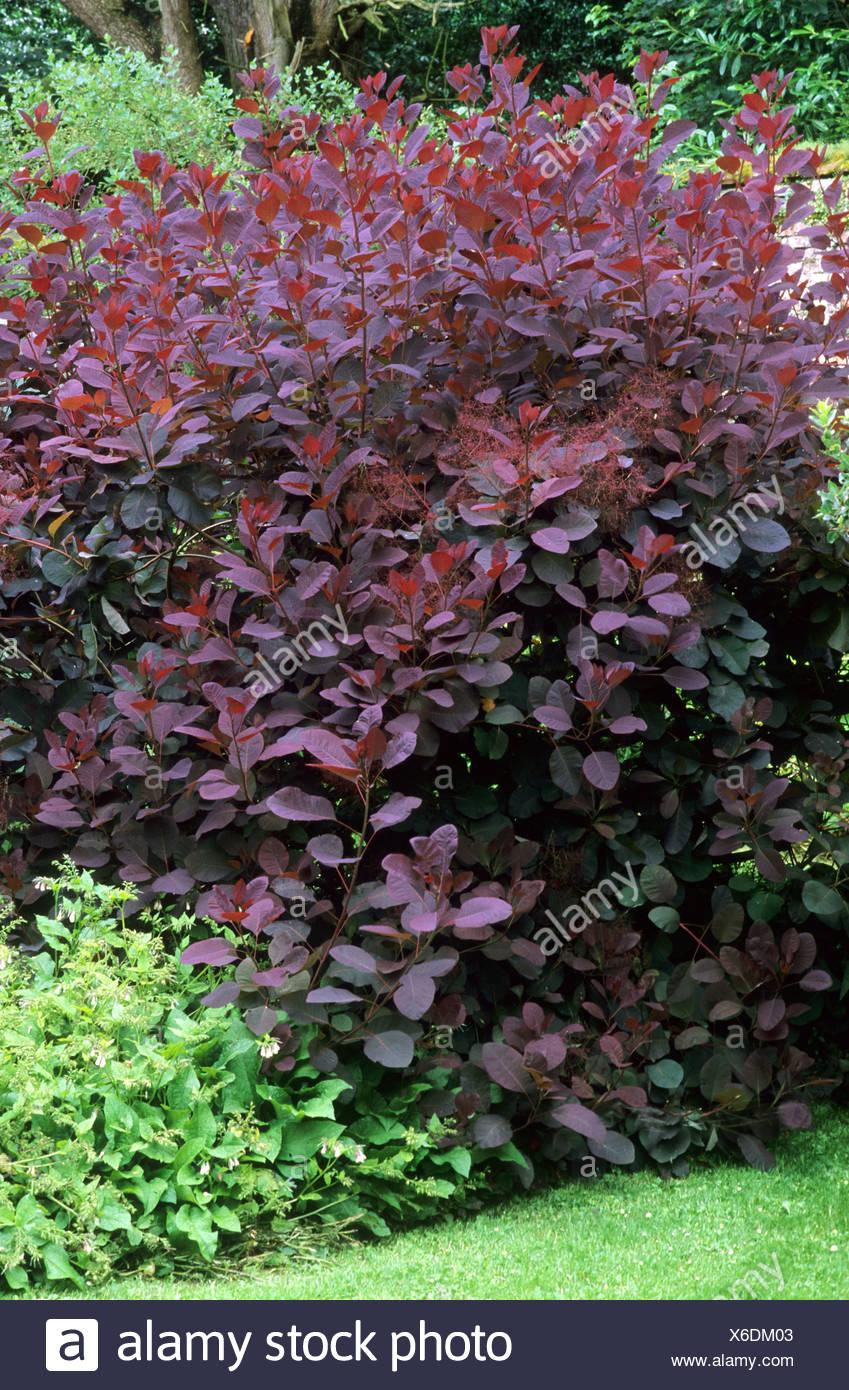 Cotinus 39 grazia 39 39 albero intero viola scuro fogliame - Alberi giardino piccolo ...