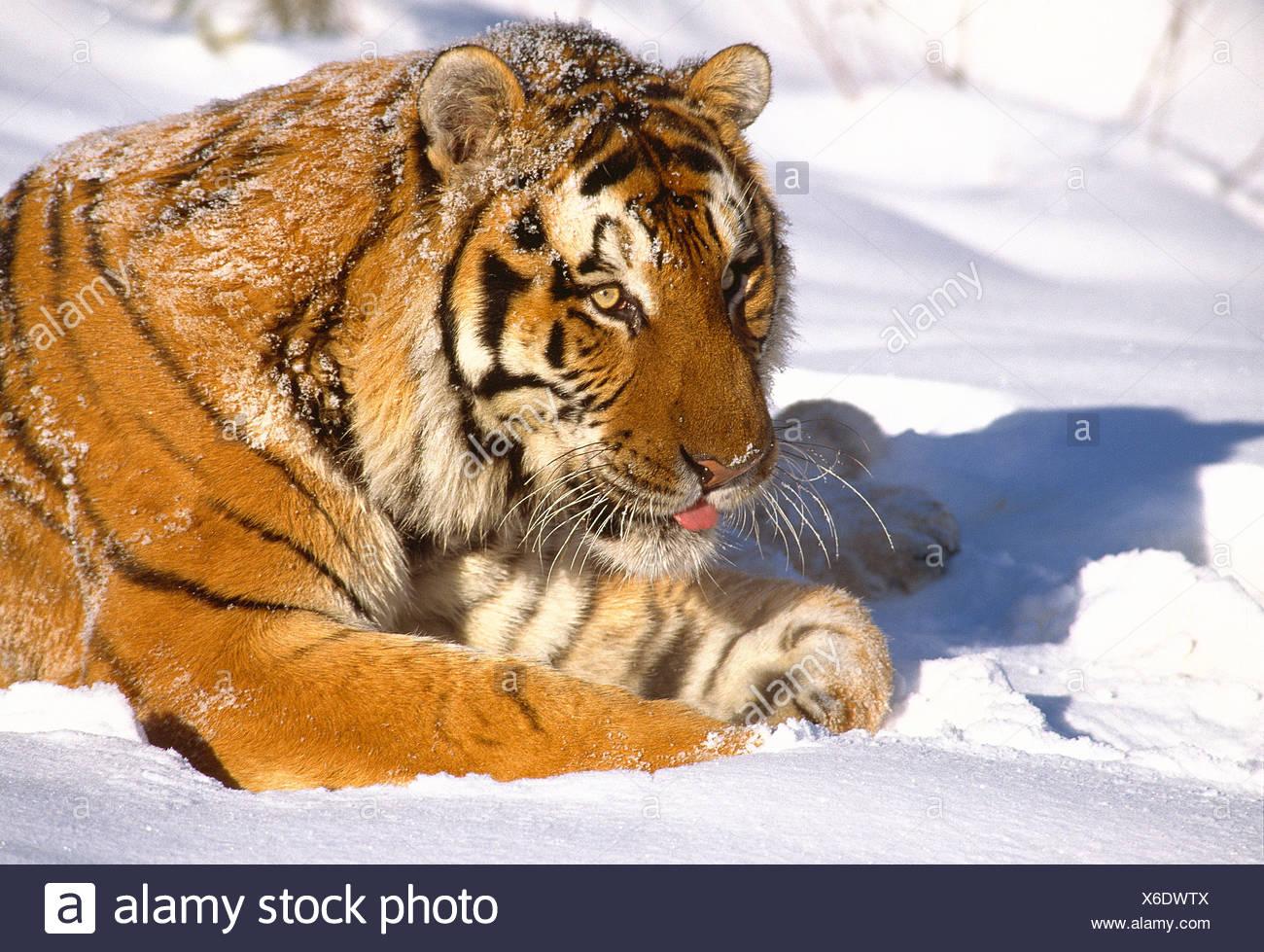 La russia. wildlife. tigre siberiana nella neve. Immagini Stock