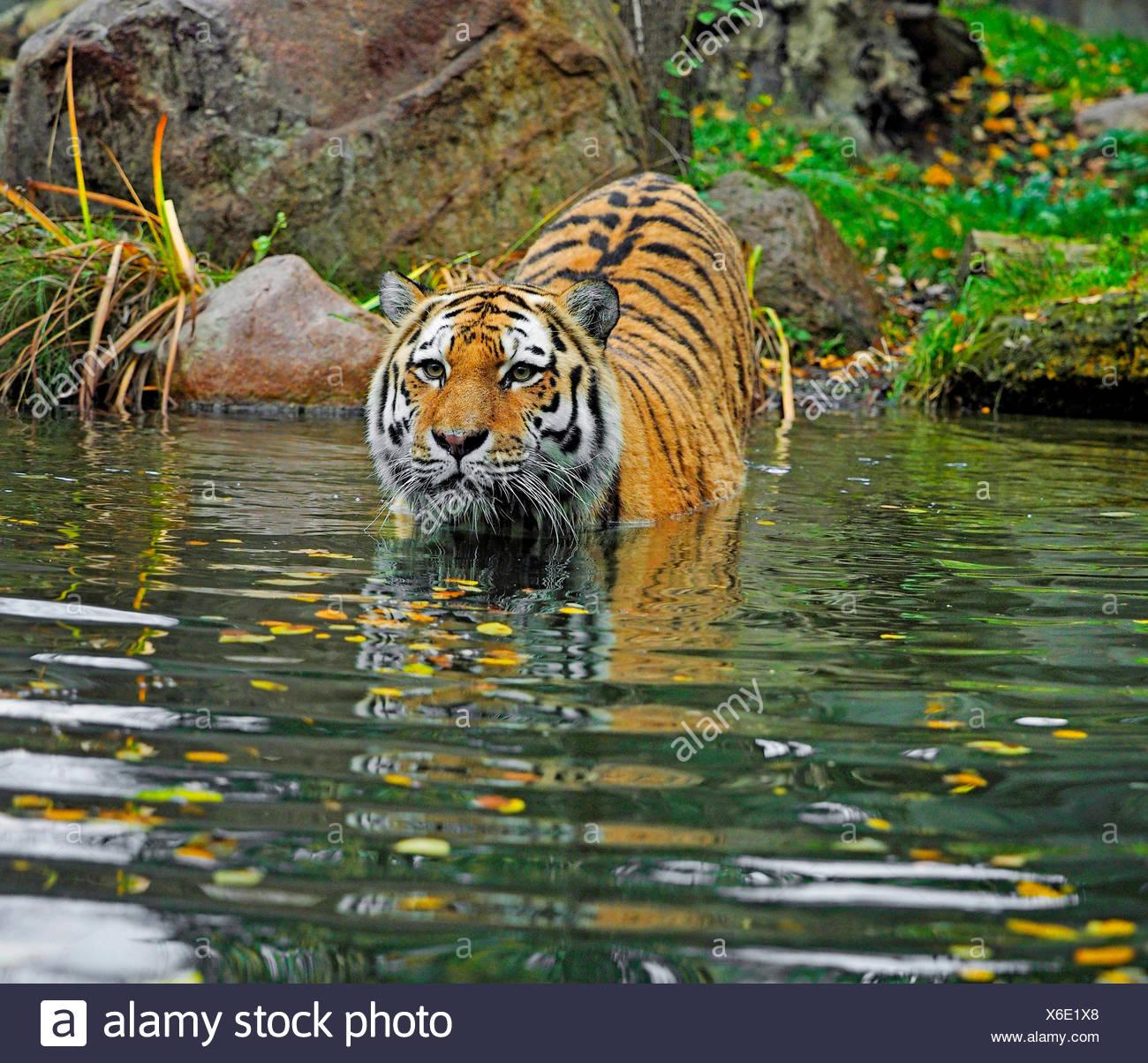 Tigre Siberiana, Amurian tiger (Panthera tigris altaica), in piedi in acqua in prossimità della spiaggia, vista frontale Immagini Stock