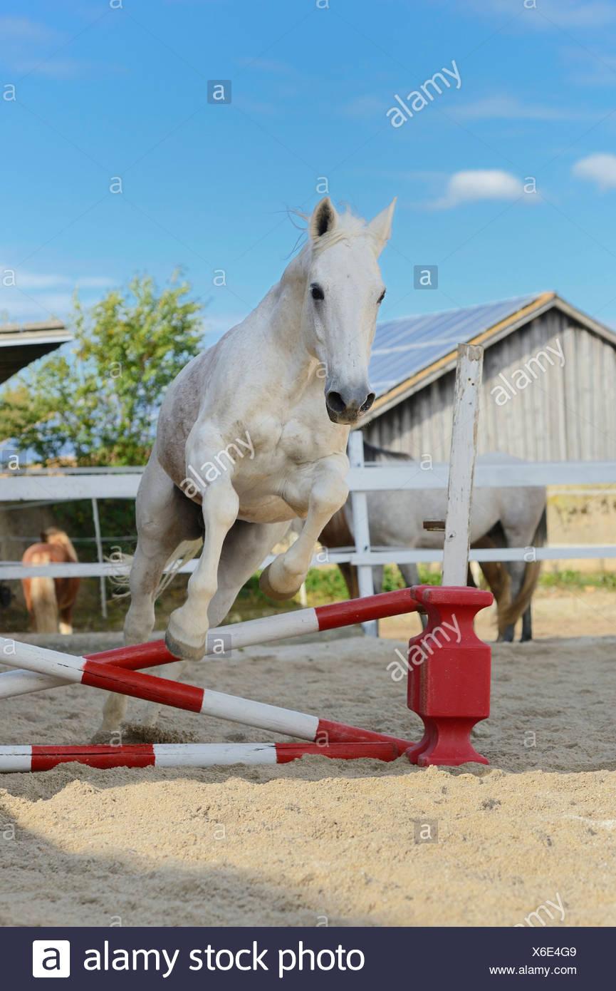Cavallo grigio di saltare in un show jumping corso, ritratto Immagini Stock