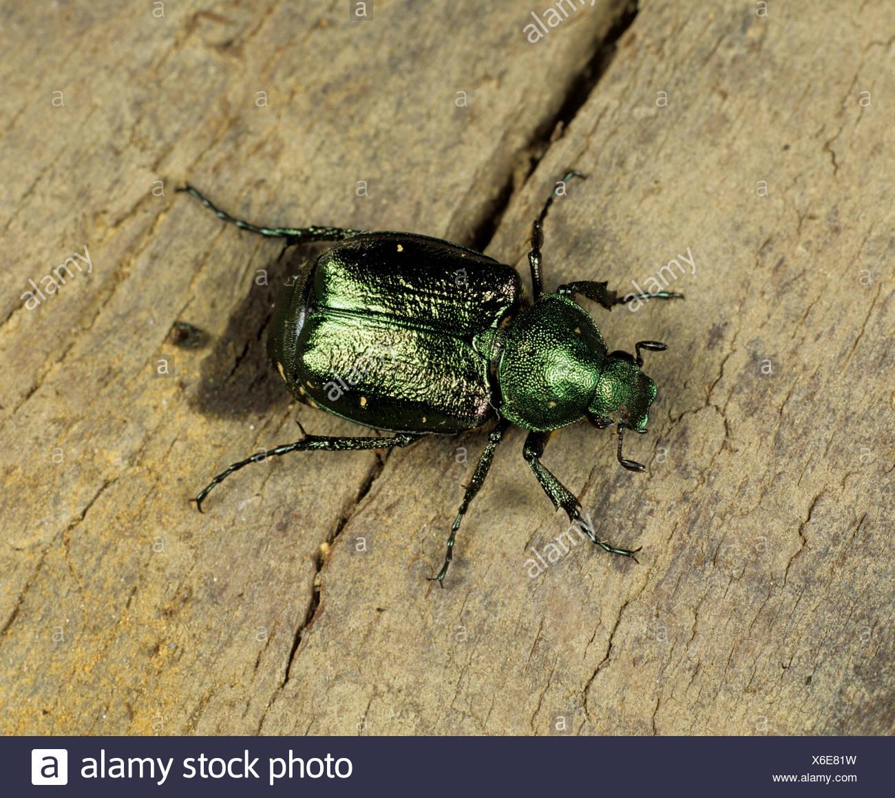Un chafer Gnorimus nobilis rari e considerati vulnerabili nel Regno Unito Immagini Stock