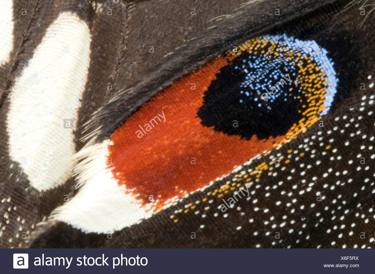 Lime a coda di rondine (farfalla Papilio demoleus). Macro immagine astratta di eye-spot marcature. Immagini Stock