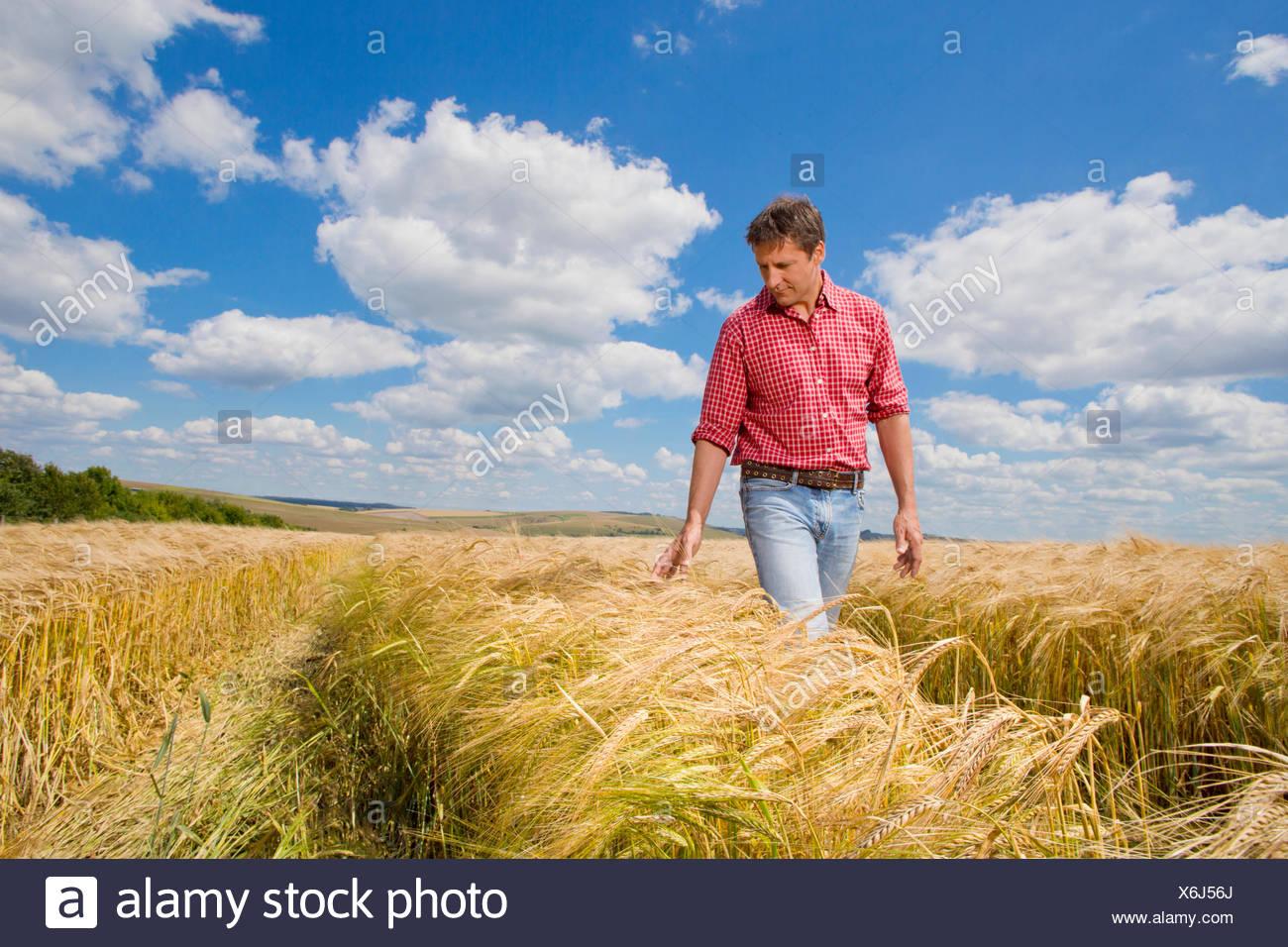 Agricoltore esaminando sunny rural raccolto di orzo campo in estate Immagini Stock