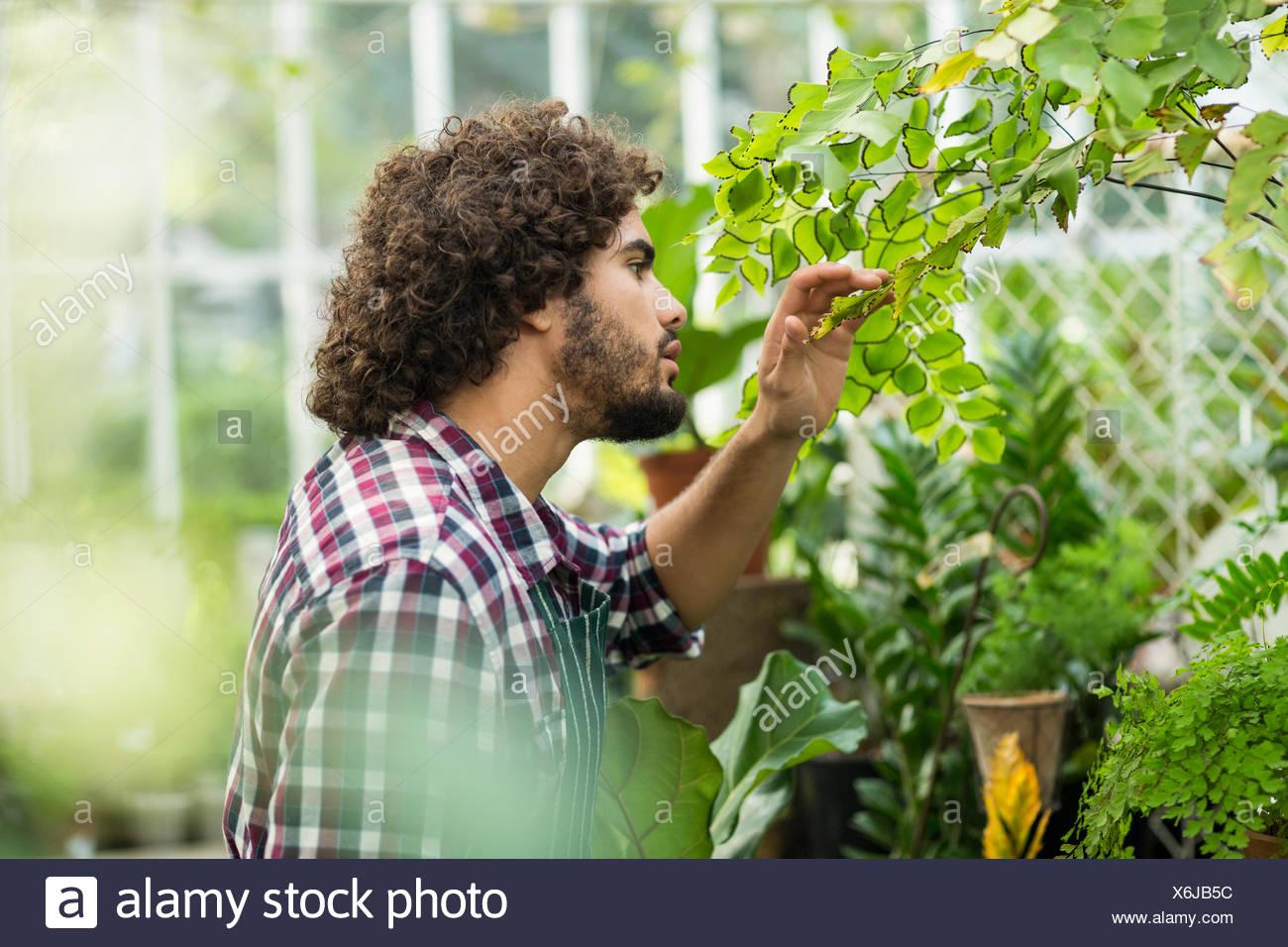 Giardiniere maschio ispezione delle piante in serra Immagini Stock