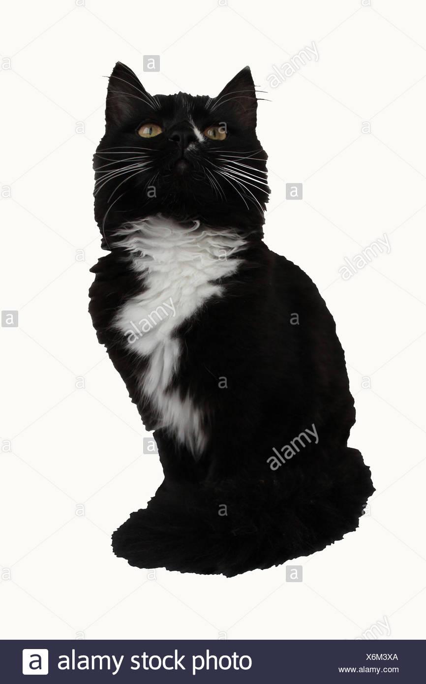 africano nero micio clip