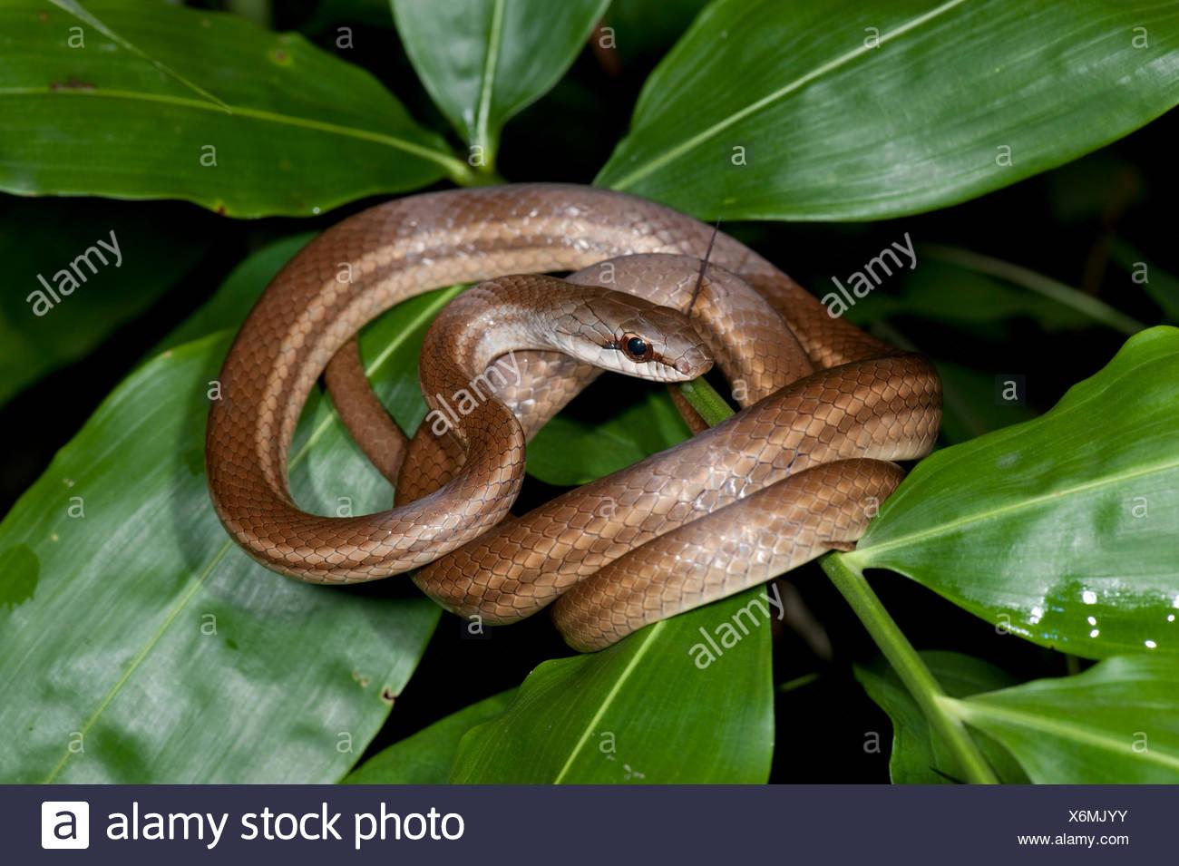 Salmone corridore panciuto Snake Dryadophis melanolomus Panama Immagini Stock